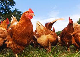 Pasture raised chickens feeding